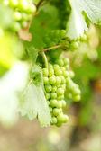 Kiść winogron na winorośli — Zdjęcie stockowe