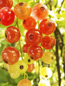 Red currants in the garden — Stock Photo