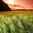 Summer field of wheat — Stock Photo #30399899