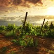Vineyard in france on sunrise — Stockfoto #30400197