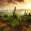 图库照片: Vineyard in france on sunrise