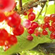 Red currants in the garden — Stock Photo #31487037