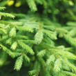 Fir tree — Stockfoto #31487291