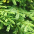 Fir tree — Foto de stock #31487291