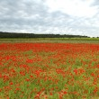Field of poppies with beauty sky — Stock Photo