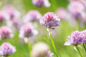 Allium Schoenoprasum — Stock Photo