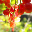 Red currants in the garden — Stock Photo #31923821