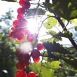 Red currants in the garden — Stock Photo #31923851