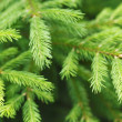 Fir tree — Foto Stock