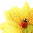 Ladybug on yellow flower — Stock Photo #32388477
