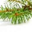 Banch of fir on white — Stock Photo #32389415
