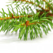 Banch of fir on white — Stock Photo