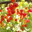 Red currants in the garden — Stock Photo #32772687