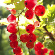 Stock Photo: Red currants in garden
