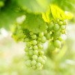 Bunch of grapes on the vine — Stock Photo #32772729
