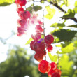 Red currants in the garden — Stock Photo #33272863