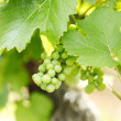 Bunch of grapes on the vine — Stock Photo