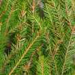 Fir branch background — Stock Photo
