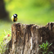 Stock Photo: Chickadee sitting on stump