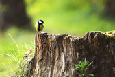 Chickadee sitting on a stump — Stock Photo