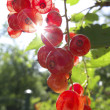 Red currants in the garden — Stock Photo #34737105
