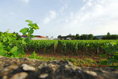 Vineyards — Stock fotografie