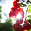 Red currants in the garden — Stock Photo #35144681
