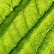 Green leaf vein — Stock Photo #35655707