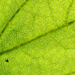 Green leaf vein — Stock Photo #35655737
