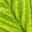 Green leaf vein — Stock Photo #36094919