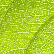 Green leaf vein — Stock Photo #36094959