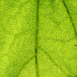 Green leaf vein — Stock Photo #36094961