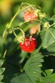 Jahody na větvi — Stock fotografie
