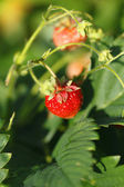 Fresas en rama — Foto de Stock