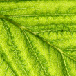 Green leaf vein — 图库照片