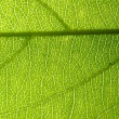 Green leaf vein — Stock fotografie