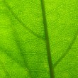 Green leaf vein — Photo