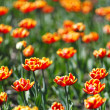 Red Orange Yellow Tulips — Stock Photo