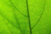 Green leaf vein — Stock Photo