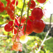 Stock Photo: Red currants in the garden