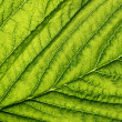Green leaf vein — Foto Stock