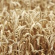 Wheat close up on farm field — Stock Photo