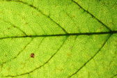 Green leaf vein — Stock Photo