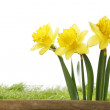Yellow daffodils — Stock Photo #42471709