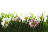 Daisy flowers in grass — Stock Photo