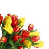 Tulips isolated on white — Stock Photo
