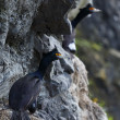Red-faced Cormorant or Violet Shag. Kamchatka Peninsula (Russia) — Stock Photo
