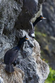 Red-faced Cormorant or Violet Shag. Kamchatka Peninsula (Russia) — Foto de Stock