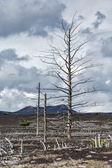 Lifeless desert landscape of Kamchatka: Dead wood — Stock Photo