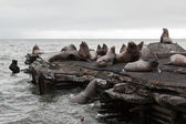 Steller Sea Lion rookery — Stock Photo